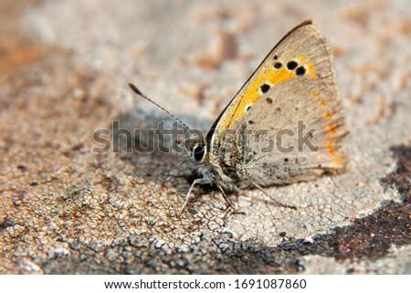 Küçük sağlık (Coenonympha pamphilus) Nymphalidae familyasına ait bir kelebek türüdür. Küçük sağlık kelebek closeup. Stok fotoğraf ©