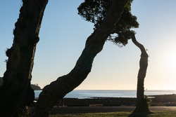 k stems of pohutukawa tree backlit by late sun across Tryphena Harbour on Great Barrier Island New Zealand.