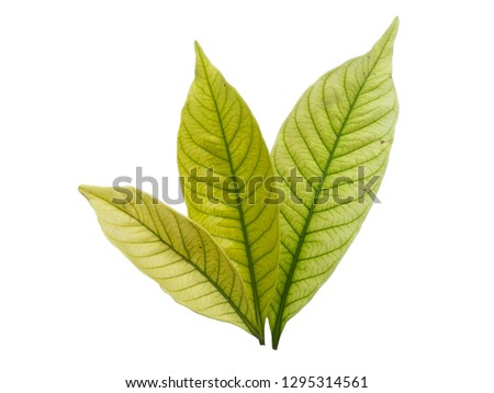 Kacapiring / Gardenia augusta also known as cape jasmine leaves isolated on white background. ( Leaf with white background ) #1295314561