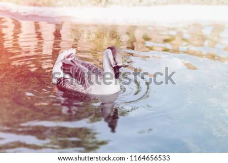 Kaczka bądź gęś pływa w stawie. Ptak samotnie pływający po jeziorze w ogrodzie zoologicznym. Zdjęcia stock ©