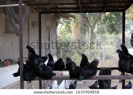 Kadaknath or Kali Masi, an Indian breed of chicken bird Zdjęcia stock ©