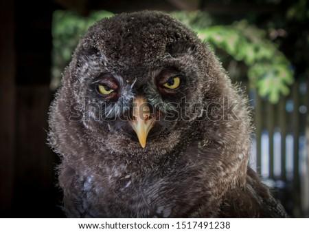 Kadzidłowo / Poland, 07.21.2015. Tamed chick of the great grey owl (Strix nebulosa; 'puszczyk mszarny' in Polish language) in its home in Kadzidłowo Game Park (Park Dzikich Zwierząt w Kadzidłowie).  Zdjęcia stock ©