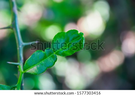 Kaffir lime can be used as a food ingredient by using leaves to add fragrance and water separated from the resulting sour taste.