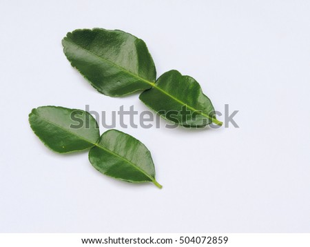 Kaffir lime leaves isolated on white background.            #504072859