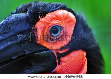 Kaffir (southern) horned raven bird, another name - Southern ground hornbill. Latin name - Bucorvus leadbeateri