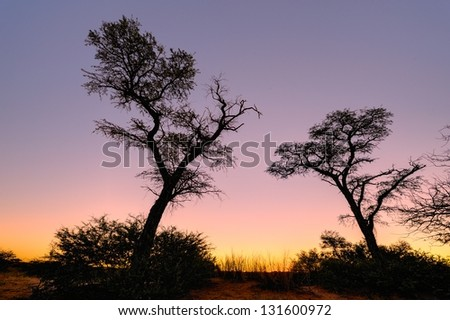 Kalahari Landscape.  camelthorn trees against a setting sun, Askham, Kalahari desert,South Africa