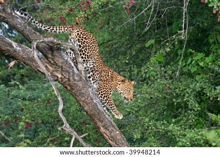 Jaguar Climbing Jaguar Climbing up a Tree