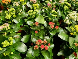 Kalanchoe blossfeldiana is a herbaceous and commonly cultivated house plant. Common names flaming Katy, Christmas kalanchoe, florist kalanchoe and Madagascar widow's thrill