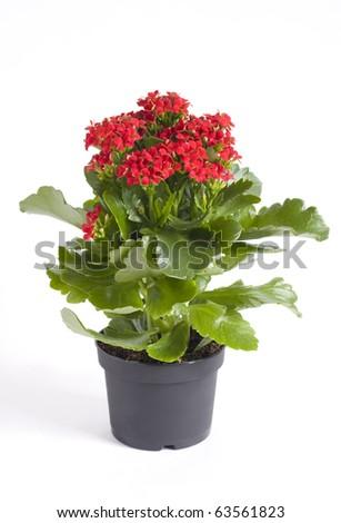 Kalanchoe bush in a plastic pot