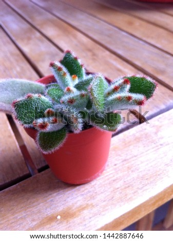 Kalanchoe felt for interior decoration. Young hairy plant on a wooden table. Green small and playful cat's feet. red fingers have green paws. green fluffy. funny hairy legs.