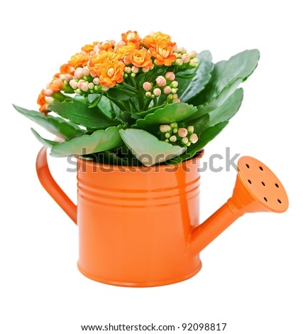Kalanchoe flower in a orange water-pot isolated on white .
