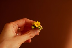 Kalanchoe is a genus of succulent plants in the family Crassulaceae. A small yellow flower in a woman's hand. Fingers hold flowers. Tiny spring flowers. Yellow flower in hand on a brown background.