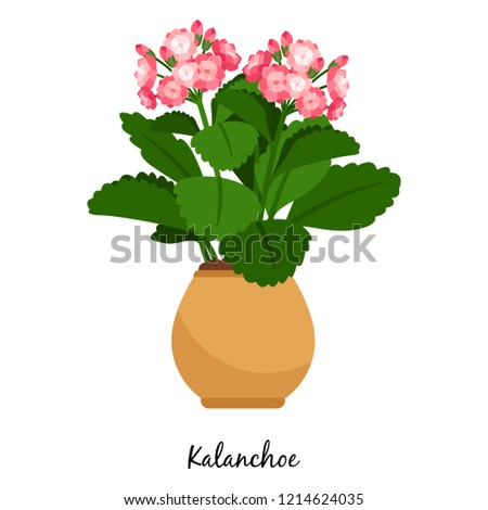 Kalanchoe plant in pot isolated on the white background, illustration