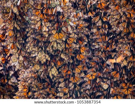 Kaleidoscope of Monarch Butterflies, Danaus plexippus, overwintering in Mexico Stock photo ©