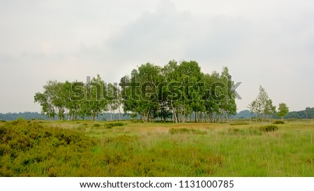 Kalmthout heath, with birch and pine trees on a cloudy hazy day