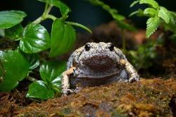 Kaloula baleata toad closeup on moss, animal closeup, Indonesian toad