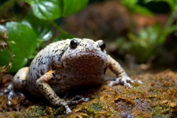 Kaloula baleata toad closeup on moss, animal closeup, Indonesian toad, chuby frog