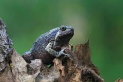 Kaloula baleata toad closeup on wood, animal closeup, Indonesian toad