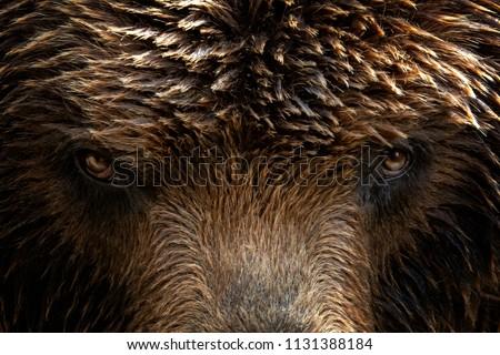 kamchatka brown bear  ursus...