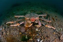 Kamchatka king crab ( Paralithodes camtschaticus)