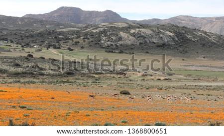 Kamiesberg wild flowers