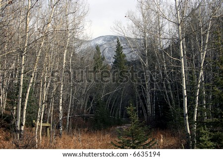 Kananaskis country, Alberta, Canada; Late fall in the Rocky Mountains; white poplar trees, spruce trees, trail and snow-topped mountain in the background; clouds