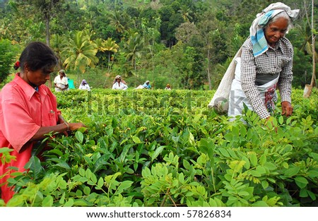 KANDY, SRI LANKA - DEC 4: Tamil women tea pickers at the plantation Decr 4, 2008 in Kandy, Sri Lanka. At this very time Government troops started attacking Tamil militants in the North of Sri Lanka