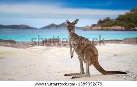 Kangaroo at Lucky Bay in the Cape Le Grand National Park near Esperance, Western Australia