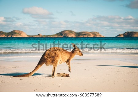 Kangaroo at Lucky Bay in the Cape Le Grand National Park near Esperance, Western Australia #603577589