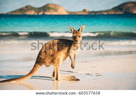 Kangaroo at Lucky Bay in the Cape Le Grand National Park near Esperance, Western Australia #603577658