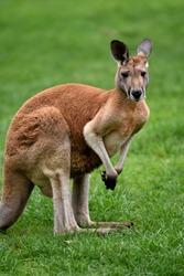 Kangaroo Australian red and greys