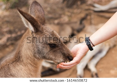 Kangaroo eating from person's hand at a wildlife sanctuary, Australia