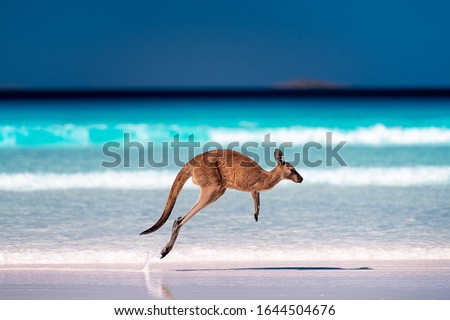 Kangaroo hopping / jumping mid air on sand near the surf on the beach at Lucky Bay, Cape Le Grand National Park, Esperance, Western Australia