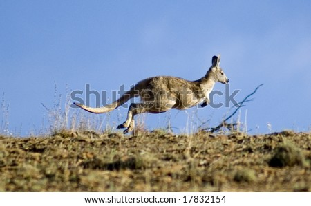 Kangaroo hopping over horizon in search of freedom