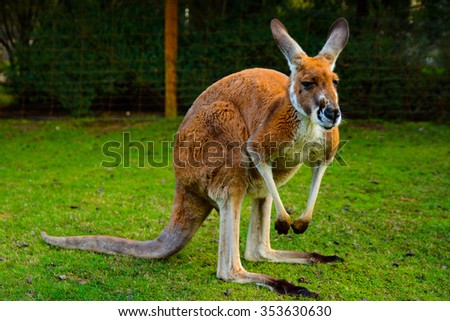 Kangaroo in Caversham Wildlife Park in West Australia