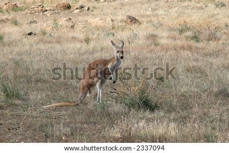 Kangaroo in the Australian bush