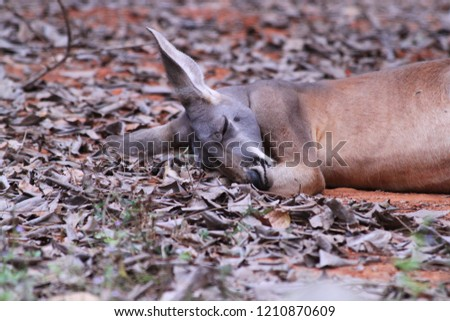 Kangaroo is a mammal that has a ventral fetus for breeding and is a habitat for the larvae. And is a local Australian animal. In the picture, it's a daytime sleeping lesson.
