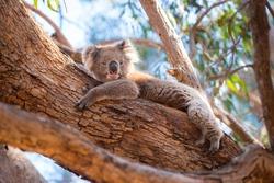 Kangaroo Island Australia - Koala lying in a tree