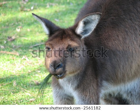 kangaroo island chewing grass