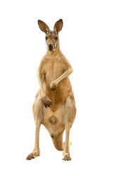 kangaroo isolated on white background