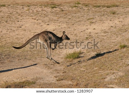 Kangaroo jumping with shadow