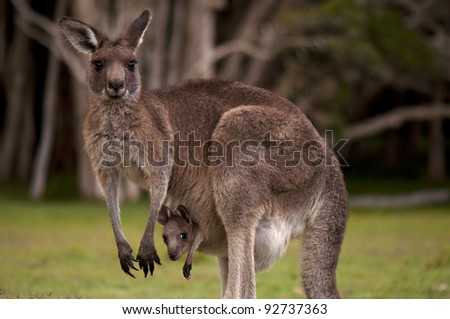 Kangaroo Mum with a Baby Joey in the Pouch - Closeup