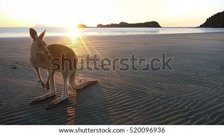 Kangaroo on a beach at Cape Hillsborough in Queensland, Australia