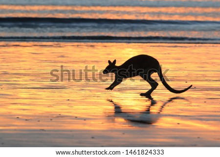 kangaroo on beach at sunrise, mackay, north queensland, australia #1461824333