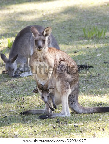 kangaroo posing with joey in pouch