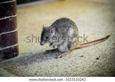 Kangaroo rat in the zoo