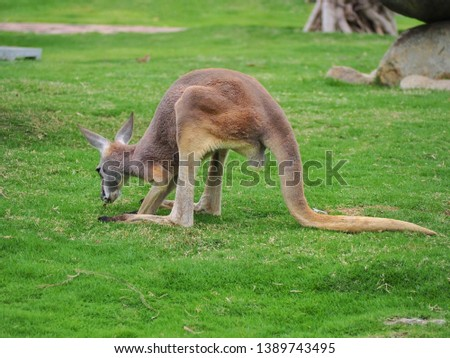 Kangaroo standing on green yard. Selective focus picture with copy space.