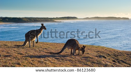 Kangaroos at Look At Me Now Headland,  Emerald Beach near Coffs Harbour, Australia