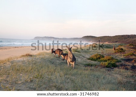 Kangaroos grazing on beach