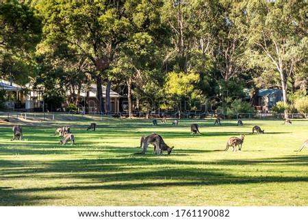 Kangaroos in a public park in the Grampians in Victoria, Australia. Stock photo ©